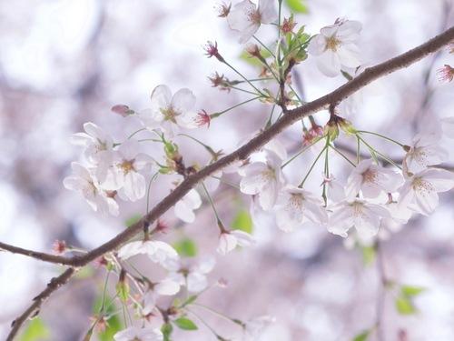 ふんわり桜.jpg