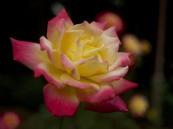 大輪の薔薇.jpg