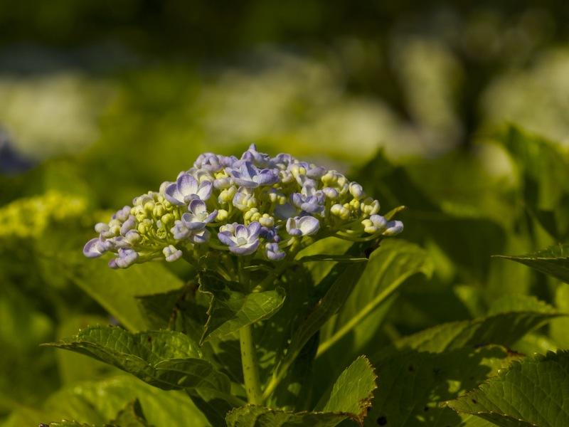 FD 100mm F4 Macroで紫陽花.jpg