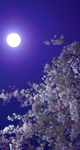 満月と夜桜.jpg