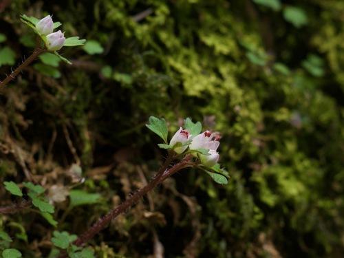 14:萼片赤いハナネコノメ.jpg