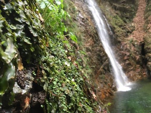 27:払沢の滝のハナネコノメ.jpg