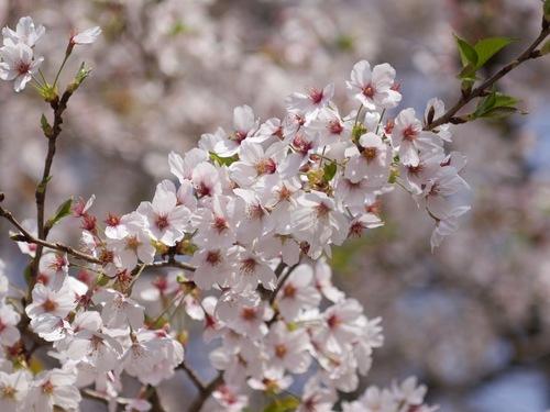 2:桜かっちり.jpg