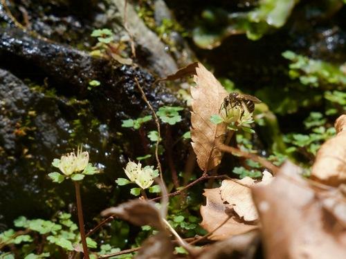 4:小滝のハナネコノメ.jpg